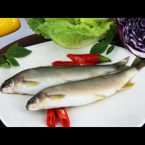 公香魚(10P)
